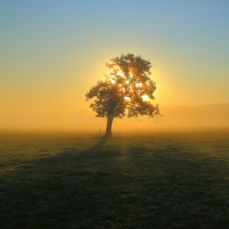 树在有薄雾的早晨 库存图片