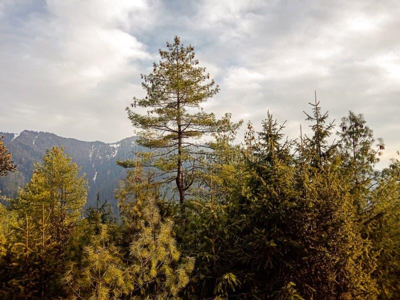 树在森林里和多雪的山在背景中 免版税库存图片