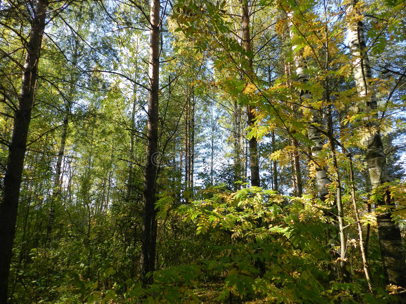 Download 树在森林里在一秋天天 库存图片. 图片 包括有 灌木, brander, 绿叶, 户外, 自治权, 重新创建 - 72371319