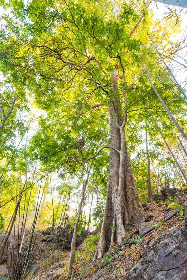 树在森林里有阳光背景 免版税库存图片