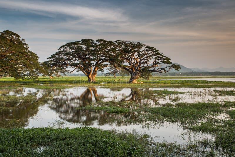 树在湖Tissa Wewa,斯里兰卡反射了 免版税库存照片