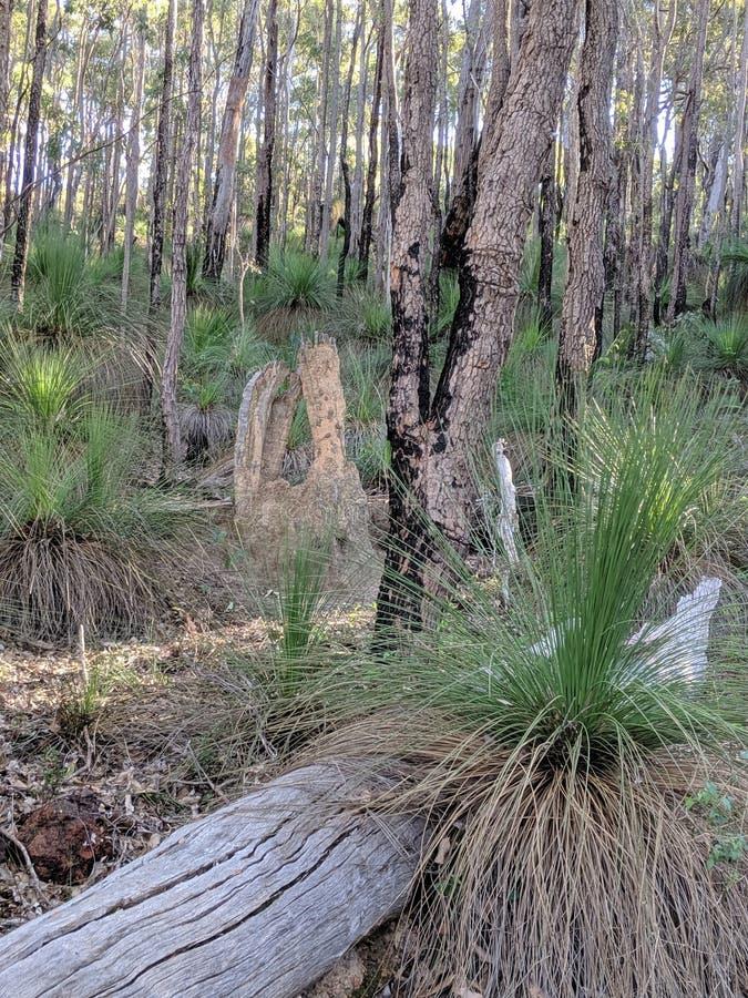 树在澳大利亚国家森林里 免版税库存照片