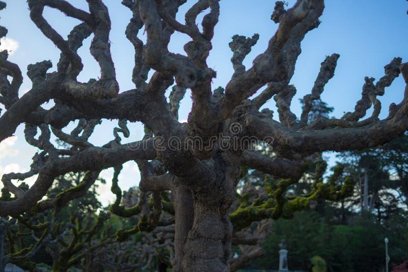 树在金黄Gat,金门公园,旧金山,加利福尼亚的春天:03/23/2018 -在日本茶园旁边的樱花 图库摄影