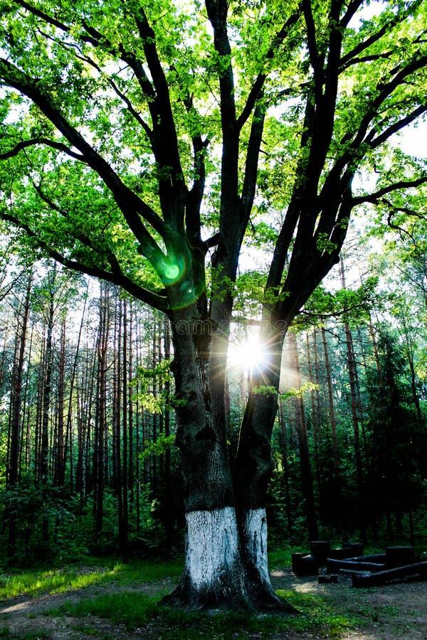 树在阳光,森林风景,太阳的光芒下以绿色 库存图片