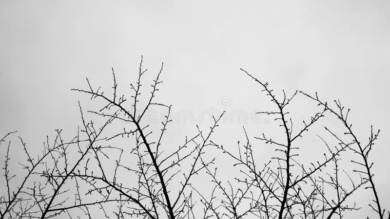 树在黑白的早青春期 库存图片