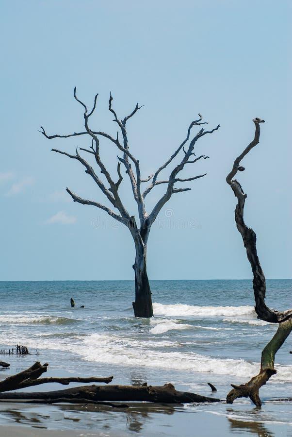 树在Boneyard海滩的海 免版税库存图片