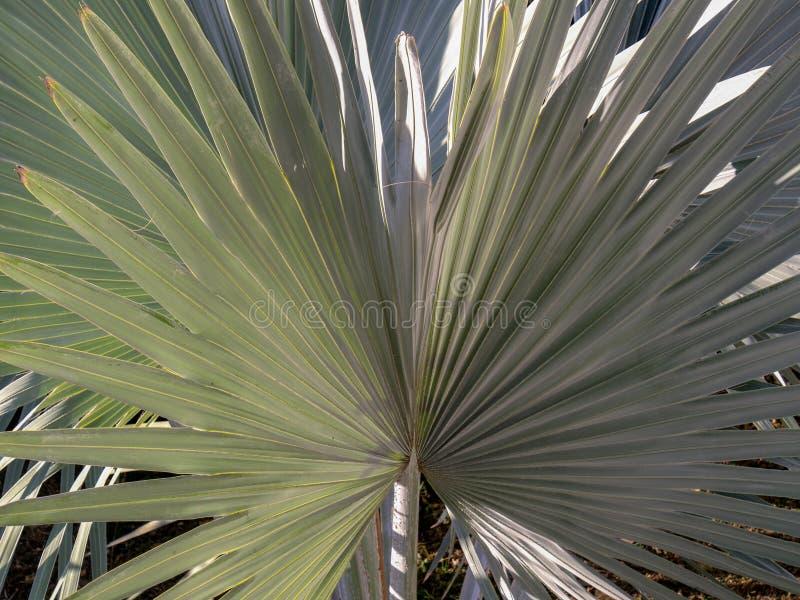 树头梭扇叶树头榈棕榈树的叶子 免版税库存图片