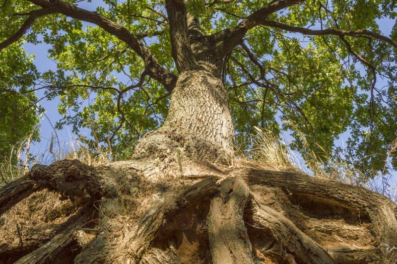 树干、橡木冠和根  免版税库存照片