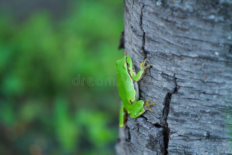 树干上的优美树蛙 图库摄影