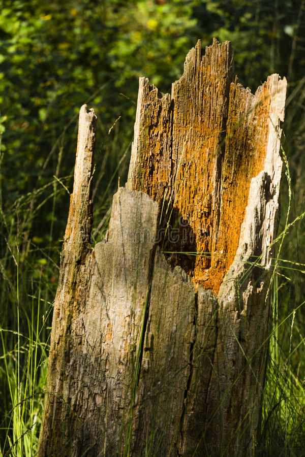 树干在森林里 免版税库存照片