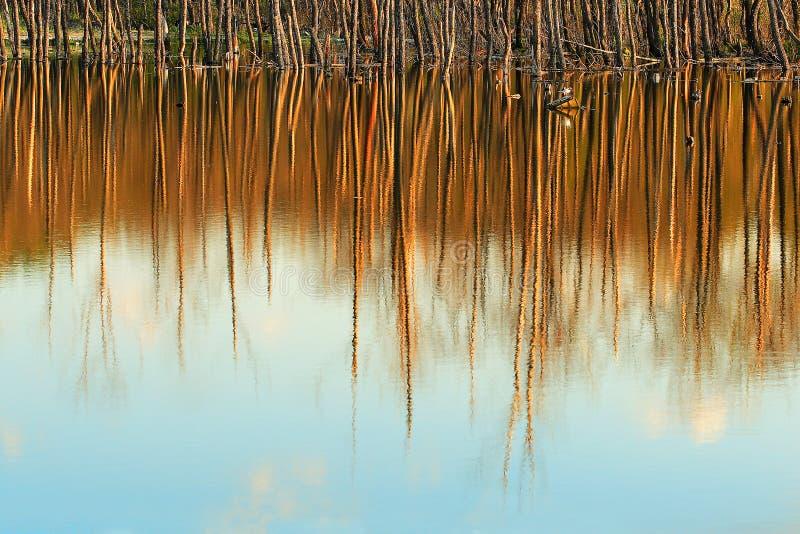 树干在水位高的水中反射了 免版税库存图片