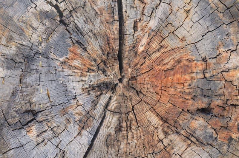 树干横断面 免版税库存照片