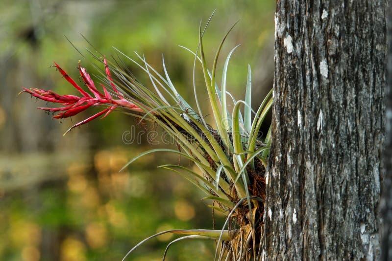树干的Bromeliad植物 免版税图库摄影