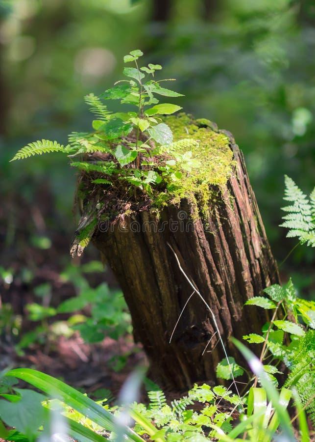 树干让青苔、草本和新的植物的重生 免版税图库摄影