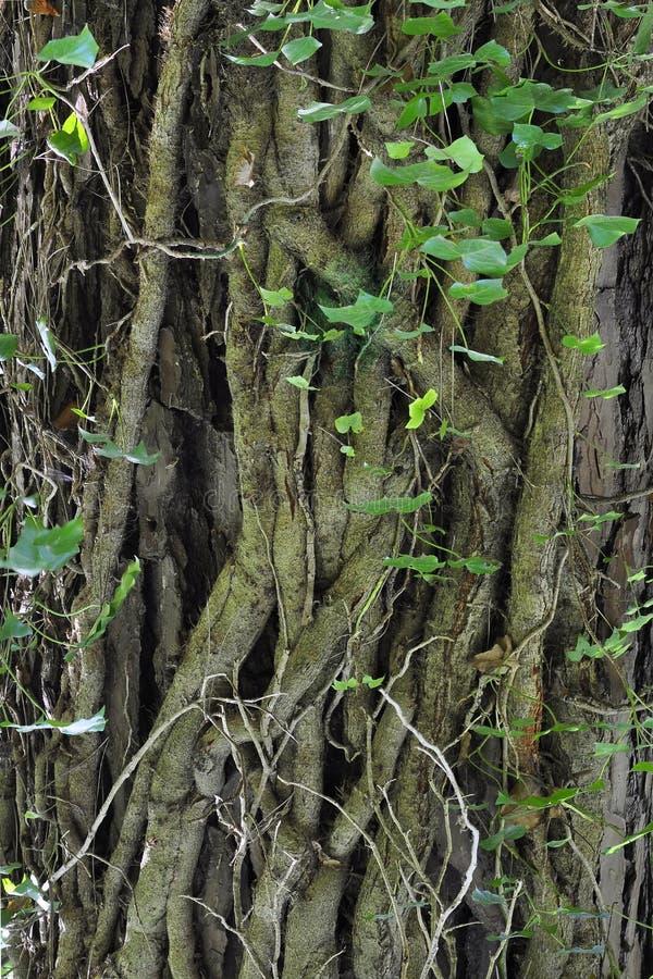 树干详细资料 免版税库存照片