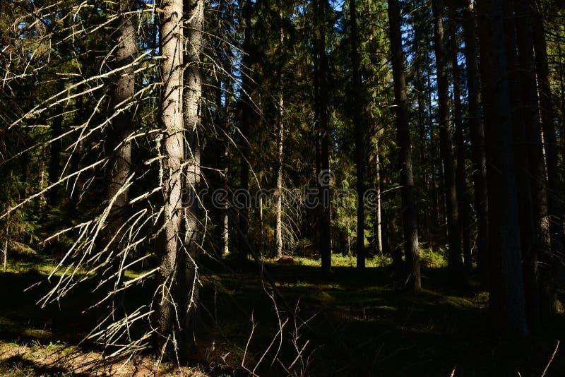 树干针叶树神秘的黑暗的森林在干燥分支的在天空蔚蓝下的高云杉的树 免版税库存图片