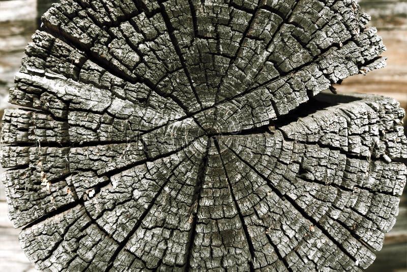 树干年的木横断面在破裂木敲响, 免版税库存照片