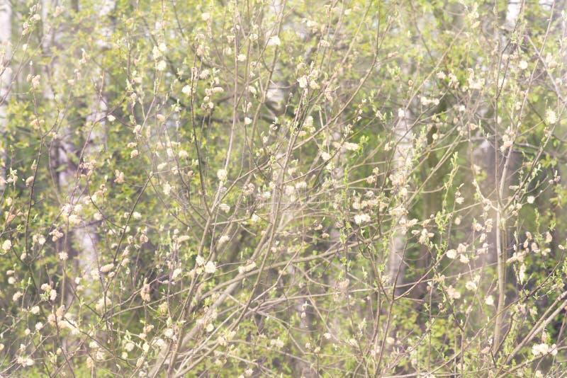 树年轻开花的分支  新鲜的早期的叶子 库存图片