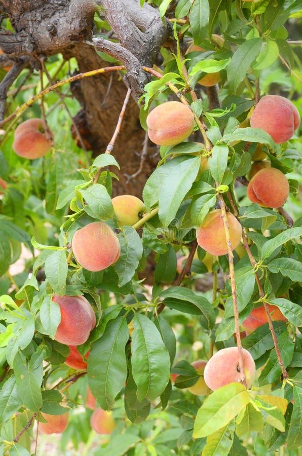 树有很多水多的成熟桃子为收获准备 库存图片