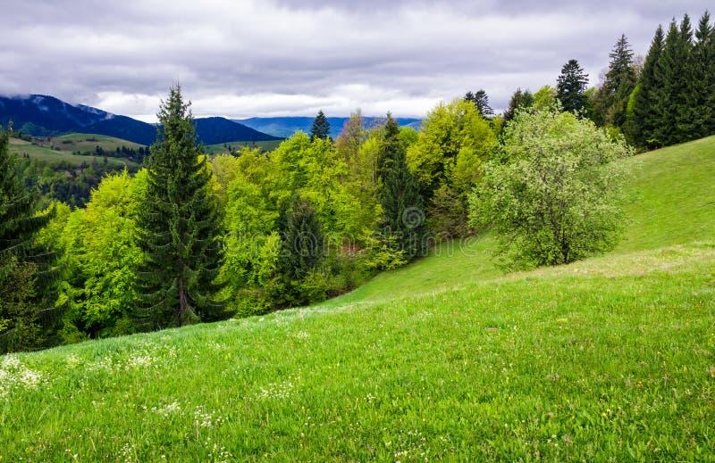 树木丛生的山坡的象草的草甸 库存照片
