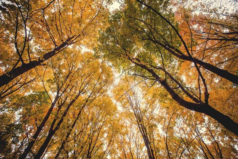 树木天棚在秋天山毛榉森林里 免版税库存图片