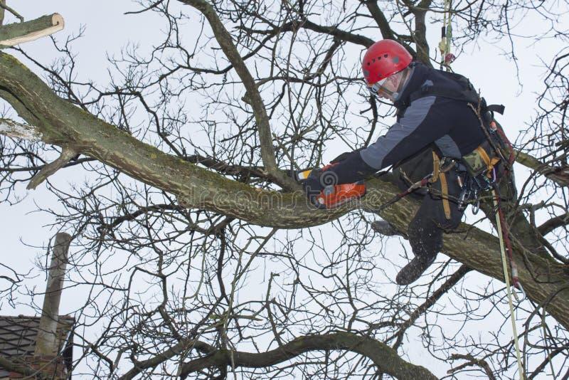 树木栽培家锯切木锯在高度 库存图片