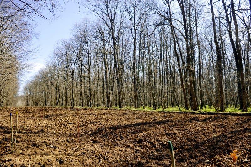 树木种植领域在森林里 免版税库存照片