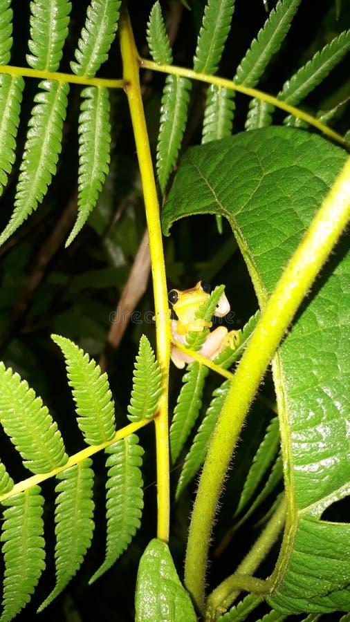 树木青蛙厄瓜多尔 免版税库存图片