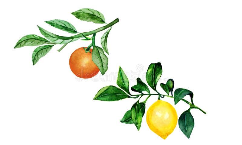 树枝上的柠檬和橙子 柑橘树的水彩插图 向量例证