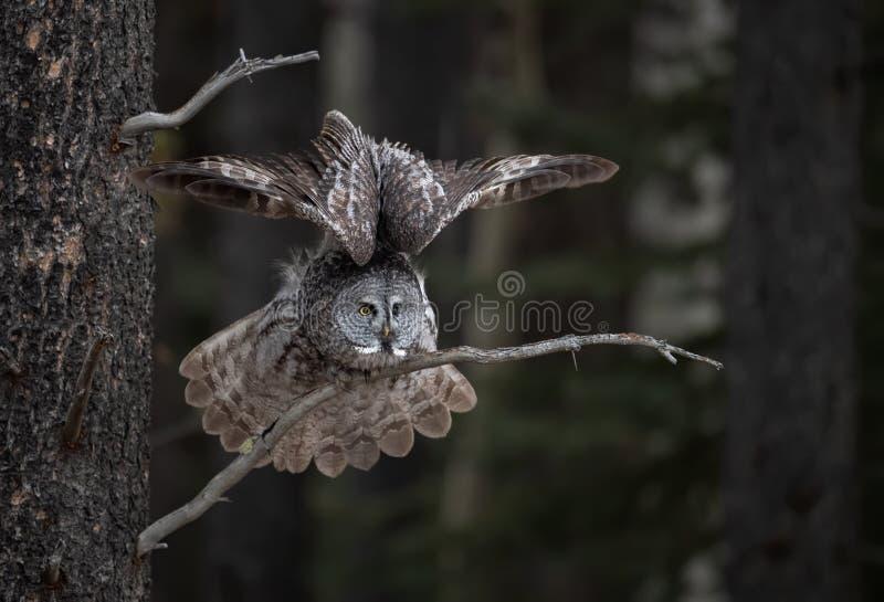 树枝上的灰鸮 库存图片