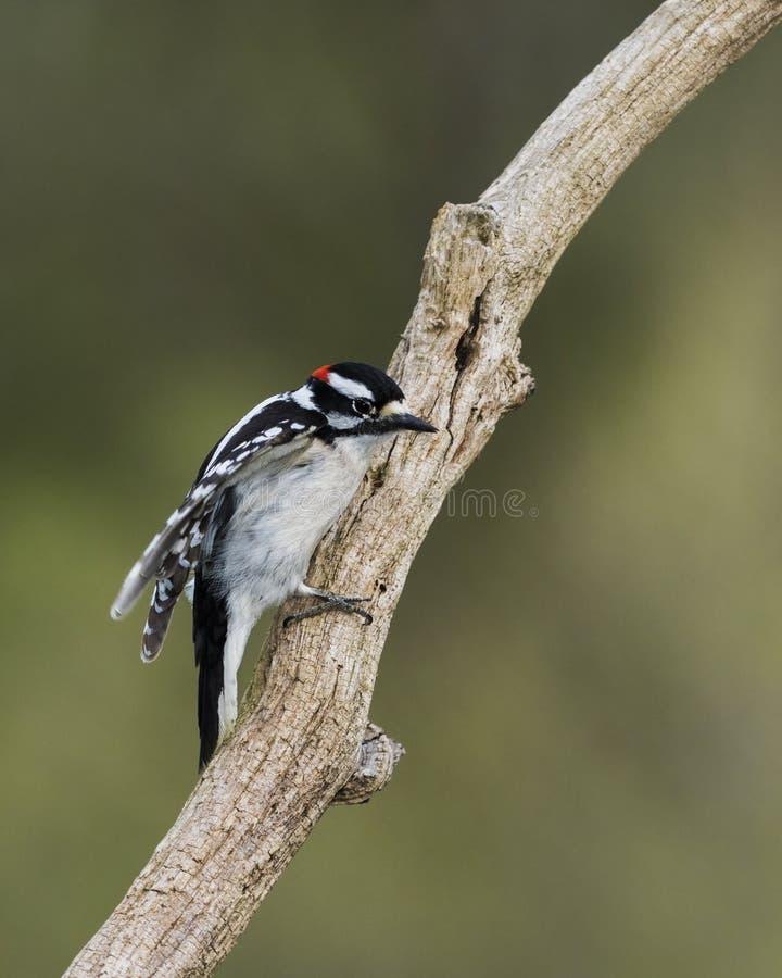 树枝上雄性小啄木鸟 免版税库存照片