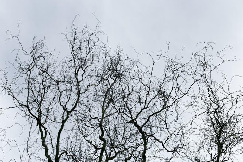 树枝抽象剪影没有叶子的在多云天空背景 免版税图库摄影