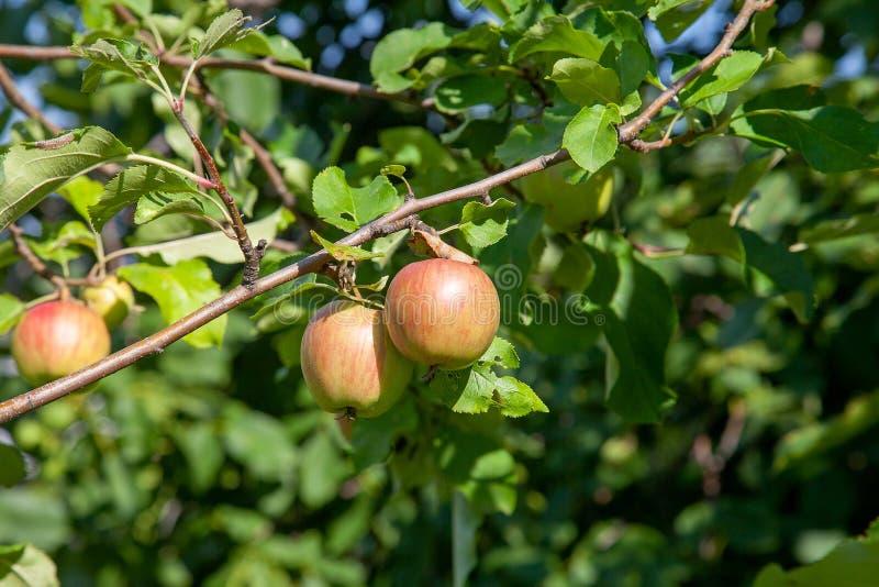树枝的接近的看法用在分支,果子的有机苹果在果树园 免版税库存照片