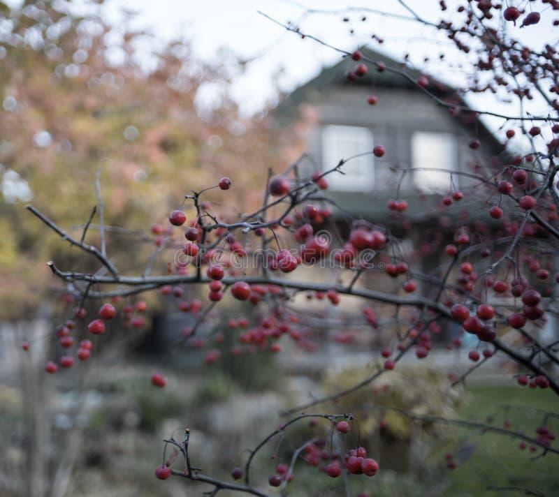 树枝红色莓果特写镜头村庄秋天天房子室外庭院 免版税库存图片