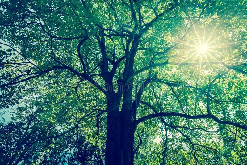 树枝背景与绿色叶子的与太阳半径 免版税库存照片
