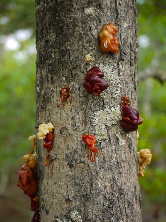 树树汁 免版税库存照片