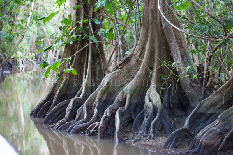 树根在圭亚那的密林的水道的 库存照片