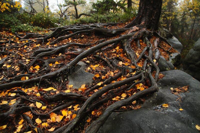 树根在岩石的 免版税库存照片
