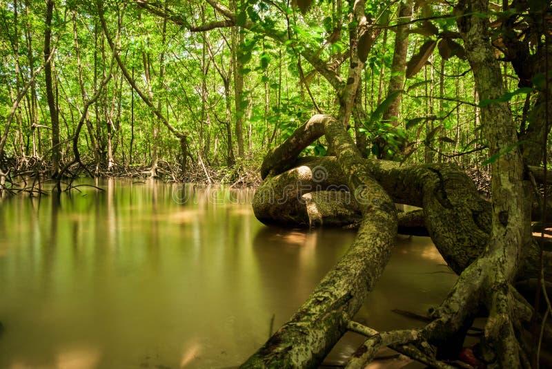 树根在那里美洲红树的是生态变化 森林和环境概念 免版税库存照片