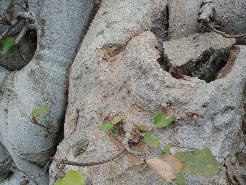 树根增长在大岩石,树根咆哮纹理,自然创作背景墙纸 库存照片