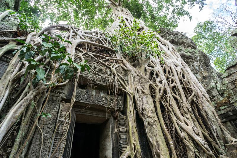 树根生长在塔布茏寺寺庙的,吴哥窟,柬埔寨古老废墟 库存照片