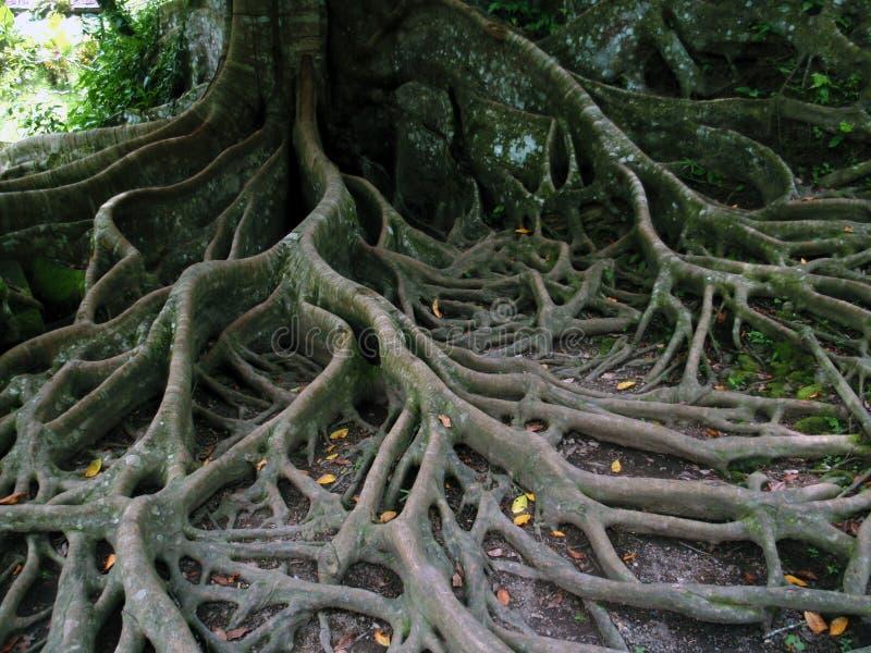 树根 免版税库存照片