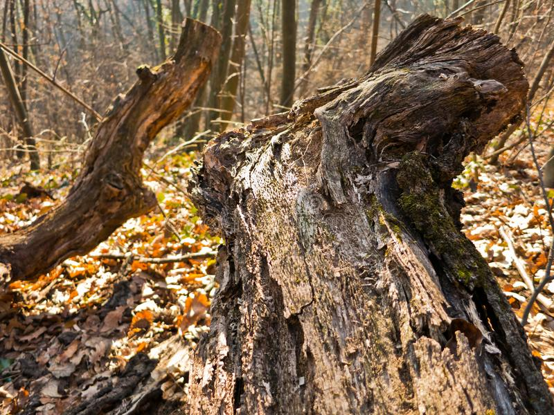 树桩、日志和下落的叶子在早晨阳光晚秋天在Kosutnjak森林,贝尔格莱德里 免版税库存图片