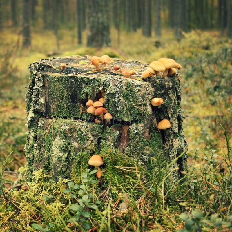 树桩用青苔和蜂蜜伞菌蘑菇 秋天 库存图片