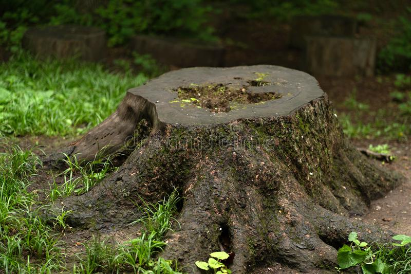 树桩的照片在冷的夏天森林里 免版税库存图片