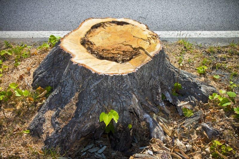 树桩细节从最近砍的树的 免版税库存照片