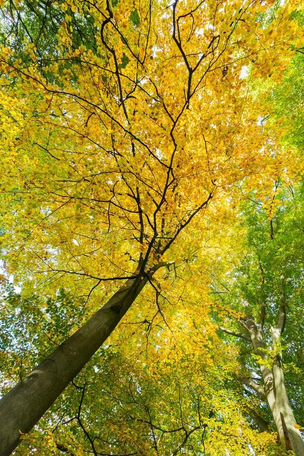 树梢黄色叶子与树干的在秋天 免版税库存图片