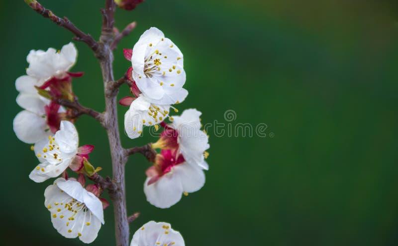 树樱桃樱桃分支叶子开花绿色桃红色迷离背景 库存图片