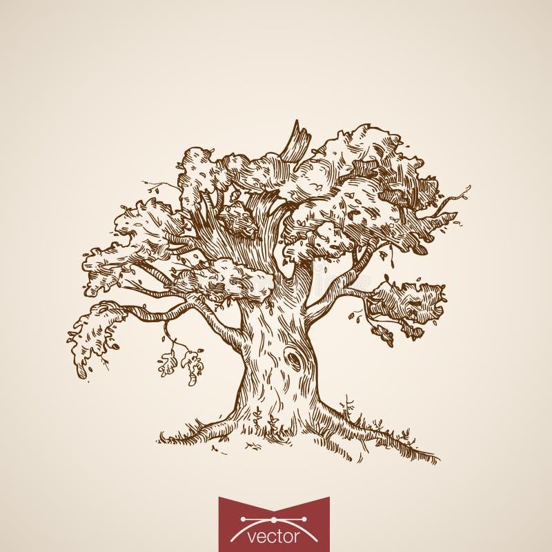 树橡木自然板刻lineart减速火箭的葡萄酒传染媒介 向量例证
