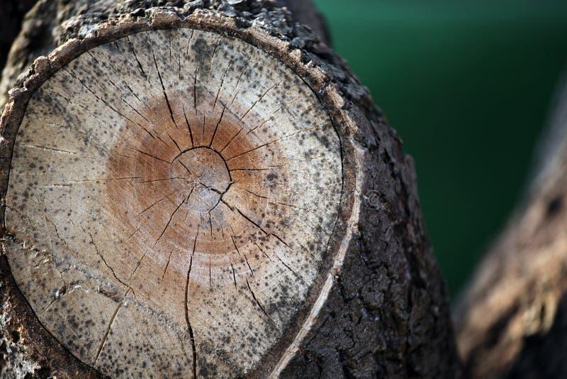 树残余部分春天没人 免版税库存照片